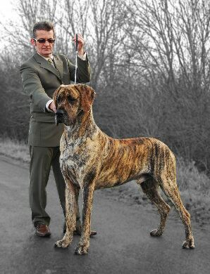 ... brindle 2007 2008 2009 midland west great dane club top brindle 2007